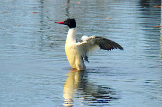 Photo: Male Common Merganser is a large diving duck & feed on salmon fry & Cutthroat trout in the river:  http://www.allaboutbirds.org/guide/common_merganser/id