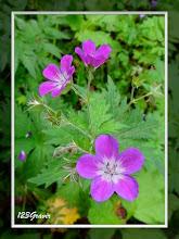 Photo: Géranium des bois, Geranium sylvaticum