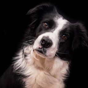 Black & White on Black by Thyra Schoonderwoerd - Animals - Dogs Portraits ( girl, background, white, bordercollie, black )