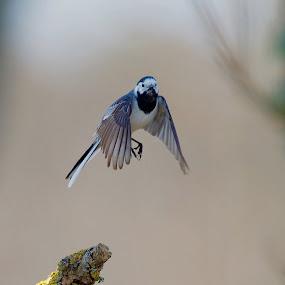 Sädersärla by Michael Pelz - Animals Birds