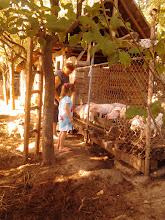 Photo: nénje, milyen jól esznek a malackák