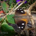Satyrinid Butterfly