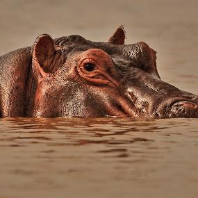 Ippo by Vito Masotino - Animals Other Mammals ( ippo, wildlife, kenya, travel, africa,  )