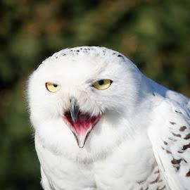 Feed me by Ben, Instagram: @bgrantphotos - Novices Only Wildlife ( bird, bird of prey, beak, owl, wildlife,  )