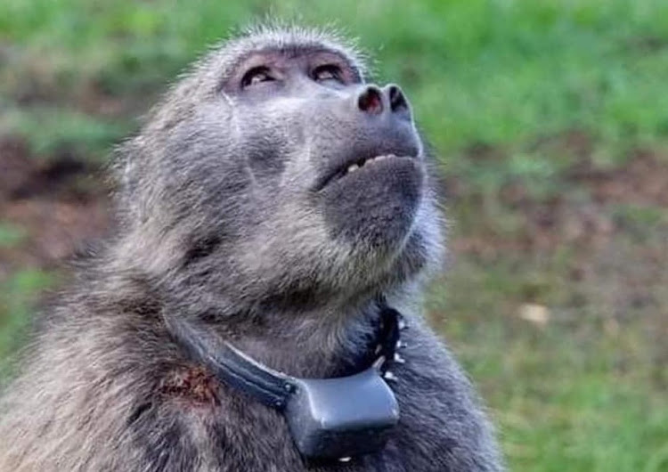Time is running out for Kataza the baboon, says the City of Cape Town.