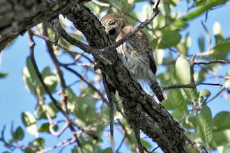 Photo: Pygmy-Owl with breakfast