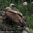 Griffon Vulture; Buítre Leonado