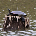 Eastern PaintedTurtle