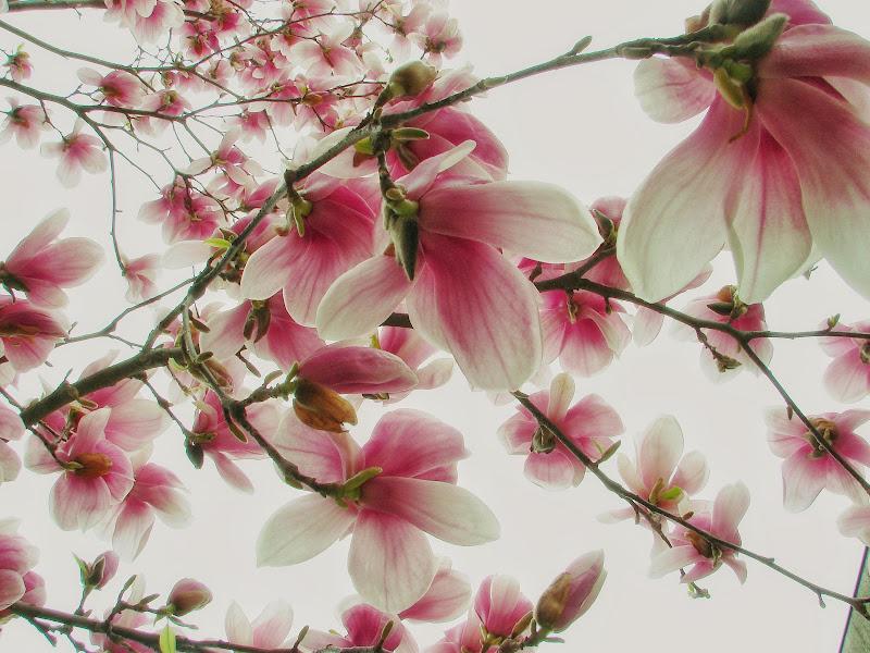 Magnolia  di gnuc