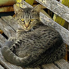 by Karen McKenzie McAdoo - Animals - Cats Portraits
