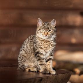 Cat by Adrijan Pregelj - Animals Other Mammals ( cat, wood, brown, table, sunlight )