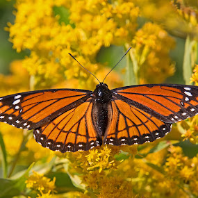 Viceroy Butterfly by Bill Diller - Animals Insects & Spiders ( wildflower, michigan, nature, butterfly, viceroy butterfly, goldenrod, wildlife )