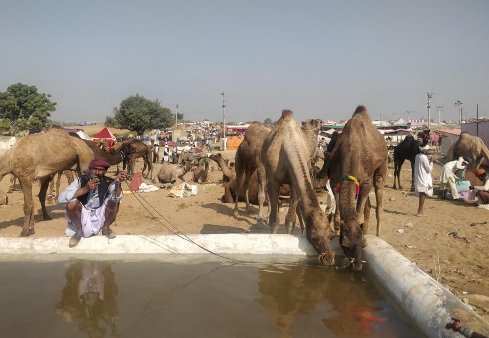 camel+drinking+water+pushkar+camel+mela++rajasthan