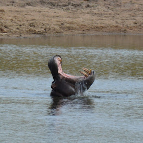Big mouth by Alette Bester - Animals Other Mammals ( #hippo #yawn #nature #mammal #water )