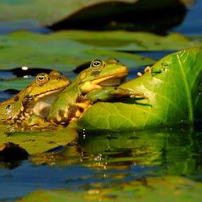 Frogs by Tomasz Budziak - Animals Other ( animals, frogs,  )