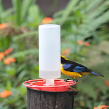 Photo: Blue-winged Mountain Tanager