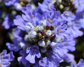Photo: Blue salvia