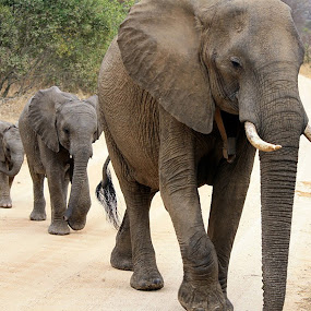 family by Ivor Evans - Animals Other Mammals ( family, elephant, safari, south africa, kruger,  )
