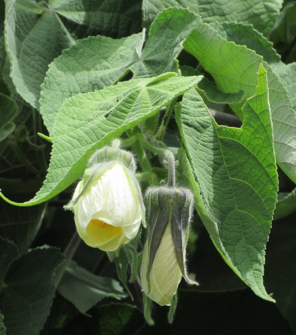 mallow flowering shrub