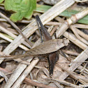 Eneoptera surinamensis