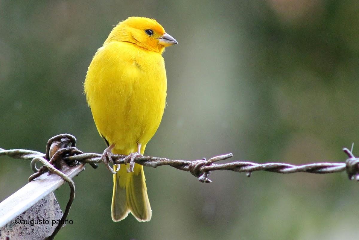 Canario coronado - Saffron finch