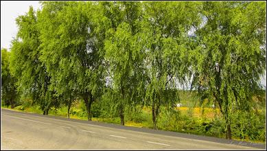 Photo: Turda, Sălcii (Salix) pe Str. Constructorilor, dig - 2019.09.05