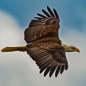 Floating By by Sparty Rodgers - Animals Birds ( eagle, western washington state, nikon d800, bald eagle, birds, raptors )