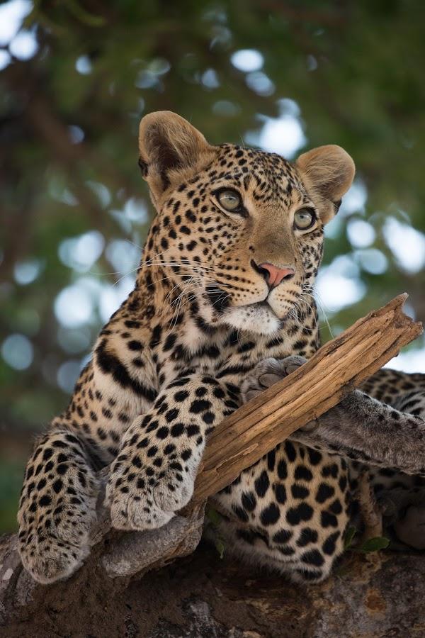 Moyo by VAM Photography - Animals Lions, Tigers & Big Cats ( nature, ruaha national park, tanzania, leopard, animal,  )