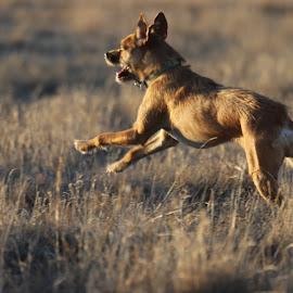 Chasing rabits by Scott Thomas - Animals - Dogs Running ( dog mammal, nature run, animal )