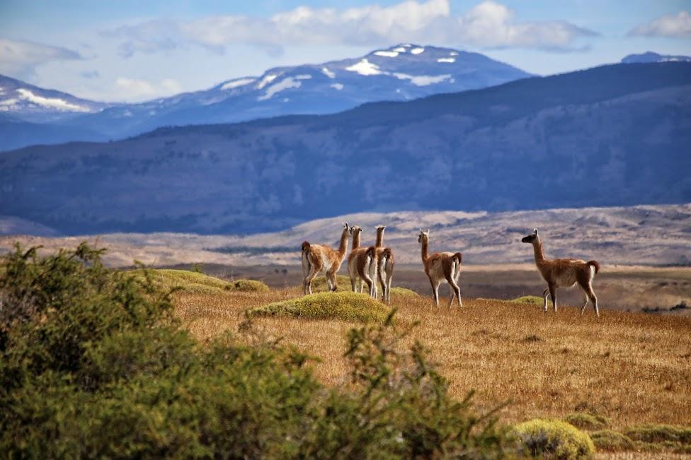 Gwanako andyjskie