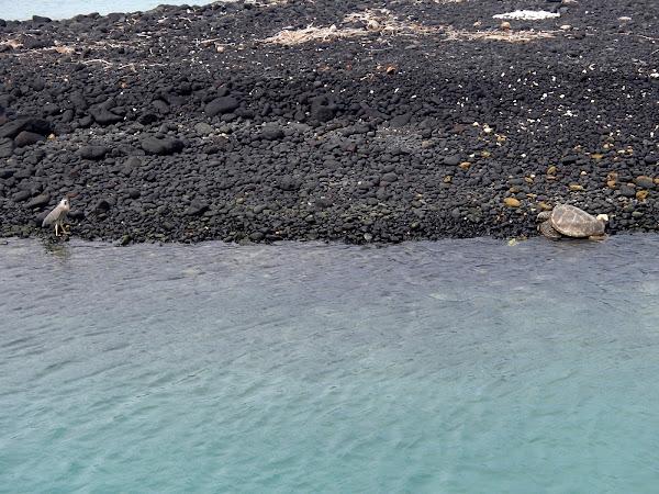 Black-Crowned Night-Heron and Sea Turtle
