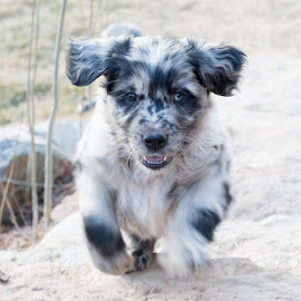 Energy! by Eric Abbott - Animals - Dogs Puppies ( nikon d750, colorado, puppy, australian shepherd, cute, dog )
