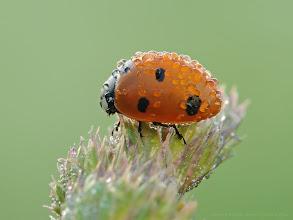 Photo: Coccinella septempunctata, Coccinelle à sept points, Seven-spot ladybirds http://lepidoptera-butterflies.blogspot.fr/