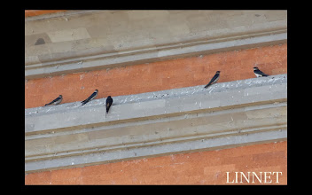 Photo: オオコシアカツバメ (英)Striated Swallow