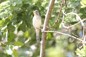 Photo: Yellow-throated Seedeater