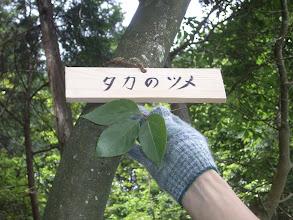 Photo: 「タカノツメ」 新芽あるいは3枚の葉が鷹の爪の形に似ている。 新芽は天ぷらやごま和えとして食する。漢字では、鷹の爪と書く。