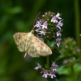 Noční motýl by Helena Jirasová - Animals Insects & Spiders ( noční motýl )