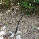 Eastern Grey Ratsnake