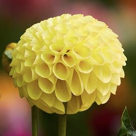 Dahlia 9777~ by Raphael RaCcoon - Flowers Single Flower