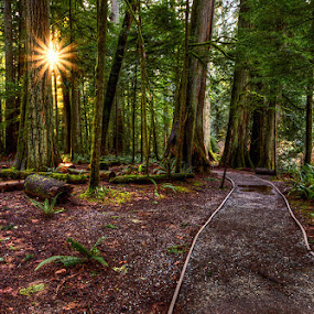 Path to the Sun by Don Guindon - Landscapes Forests ( provincial park, sunset, vancouver island, path, forest, pwcpaths )