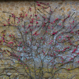 English wall by Chris Seaton - Buildings & Architecture Architectural Detail ( flowers, espalier, english garden, wall, vine )