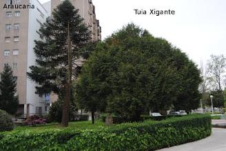 Photo: Araucaria e Tuia Xigante  Xardín privado entre Alcade Hevia e Iglesias Vilarelle