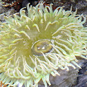 Green surf anemone
