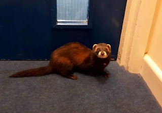 """Polecat rescue named as """"memorable"""" by RSPCA Wales"""