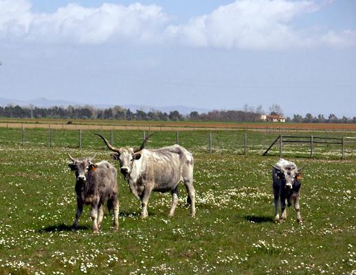 Vacche al pascolo di FransuaR