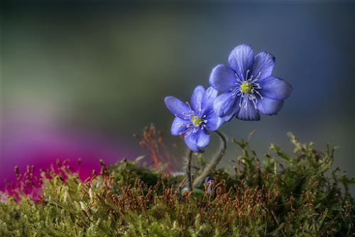 Spring Colours by Jaro Miščevič - Flowers Flowers in the Wild ( macro, close up, slovenia, flowers, forest, springtime, green, blue, light, wood, wild )