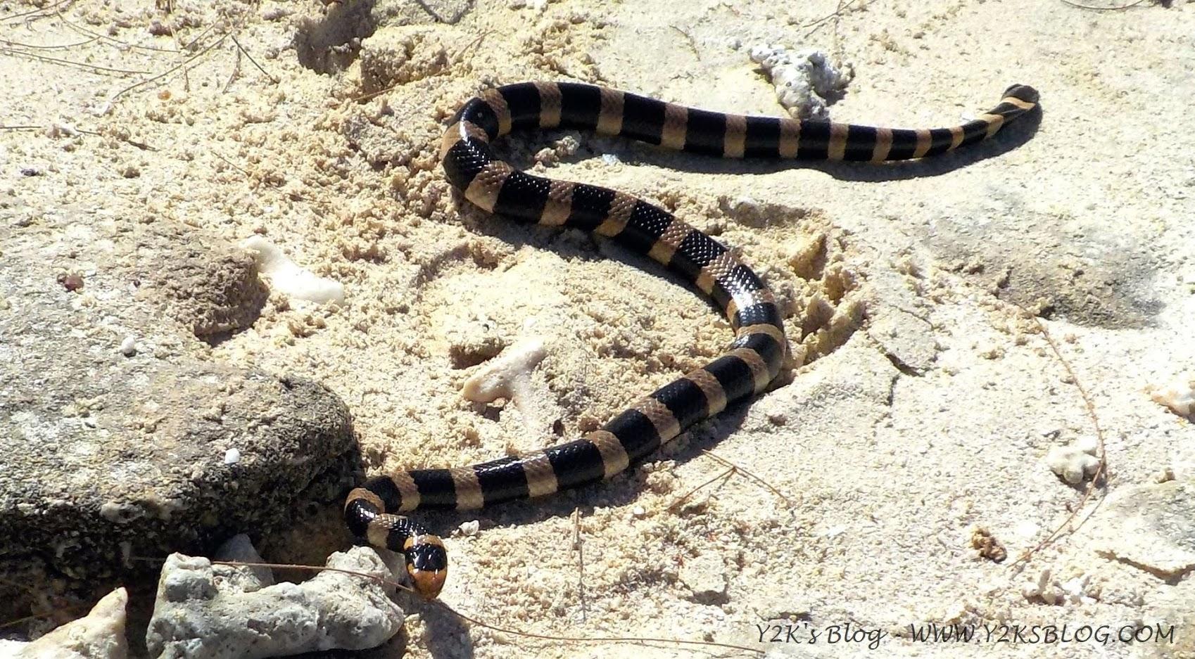 Serpente di mare a Ilot Vert - Grande Terre