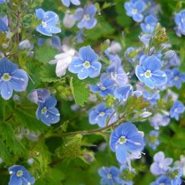 Blue beauty by Helena Moravusova - Flowers Flowers in the Wild ( flowers, blue )