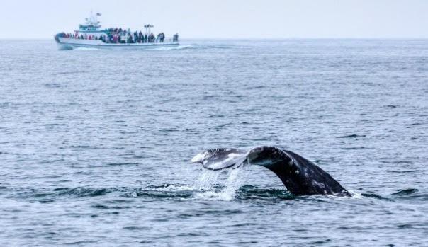 Observação Baleias
