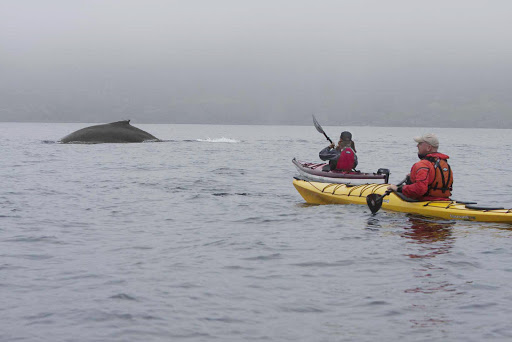newfoundland-whale-breaching.jpg - Kayakers observe a humpback whale breaching off the coast of Avalon Peninsula in Newfoundland.